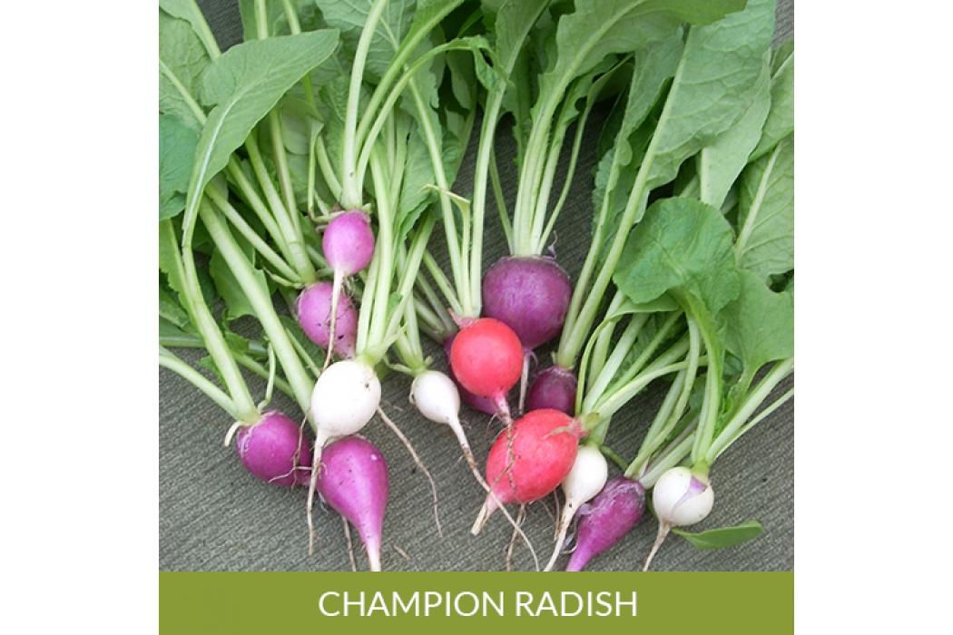 Champion Radish