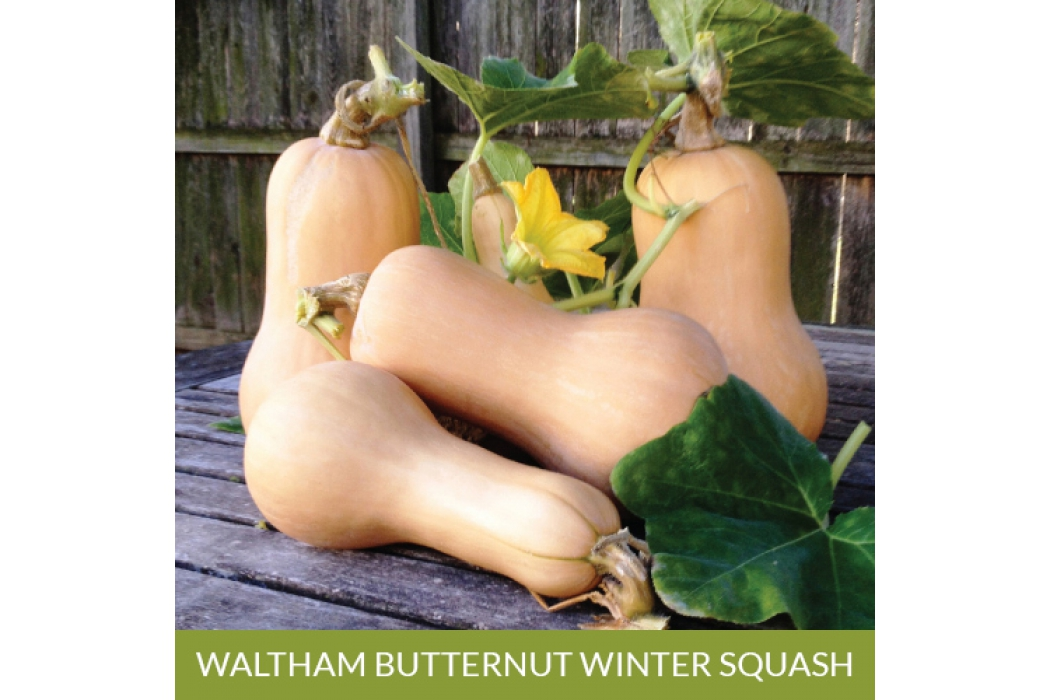 Waltham Butternut Winter Squash