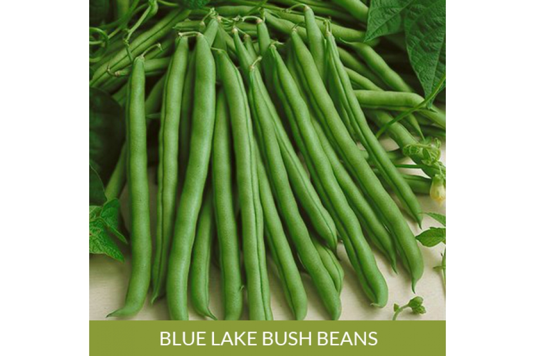 Blue Lake Bush Bean