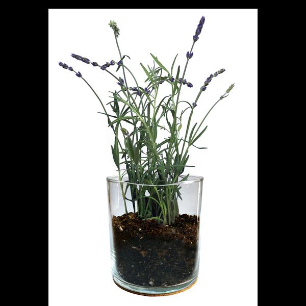 Essential-Lavender-Garden-2