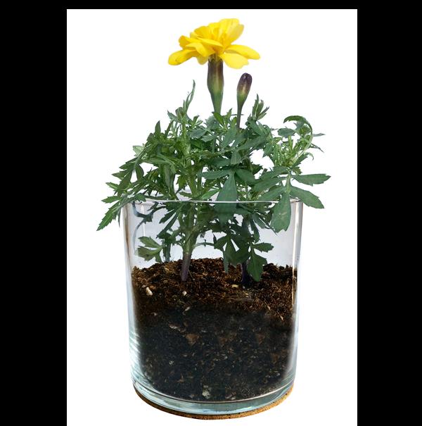 Essential-Marigold-Garden-2